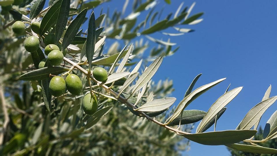olives vertes Alpilles Pays d'Arles