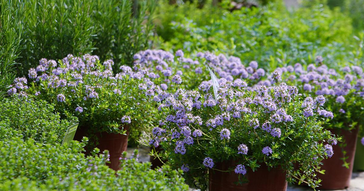 foire aux plants saint rémy de provence